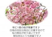 白鳥台の八重桜
